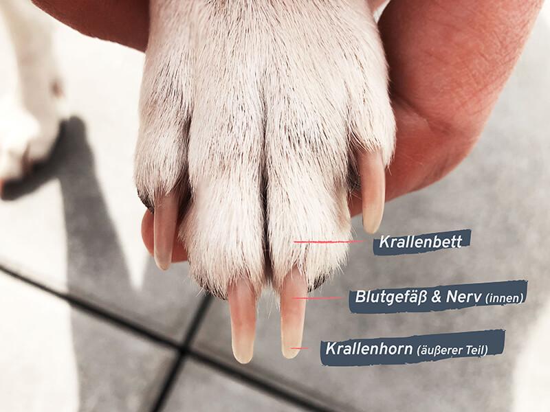 Aufbau der Kralle eines Hundes - Krallenbett, Blutgefäße, Nerv, Krallenhorn