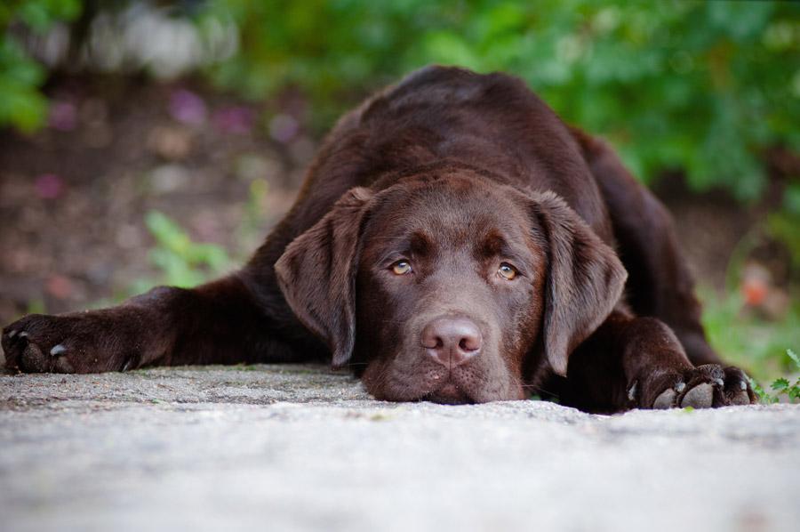 Studie: Braune Labradore leben kürzer