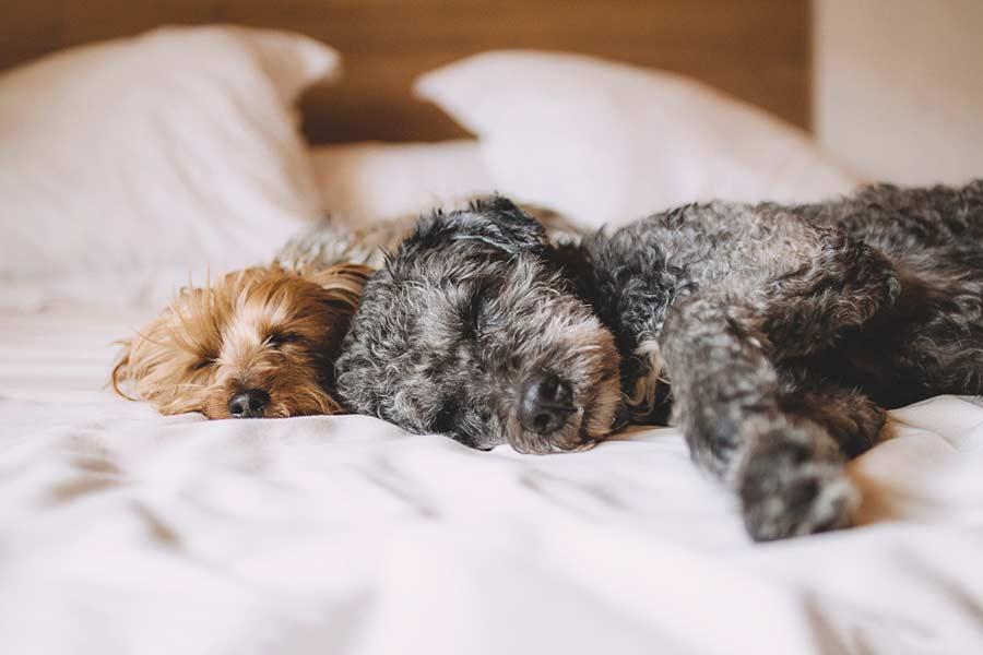 Hunde schlafen im Bett