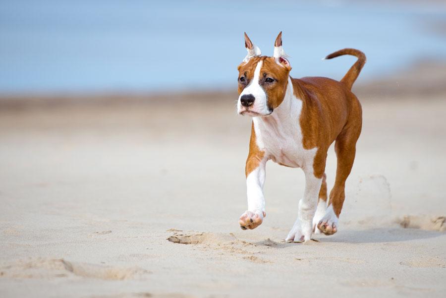 Über die Haltung von Kampfhunden