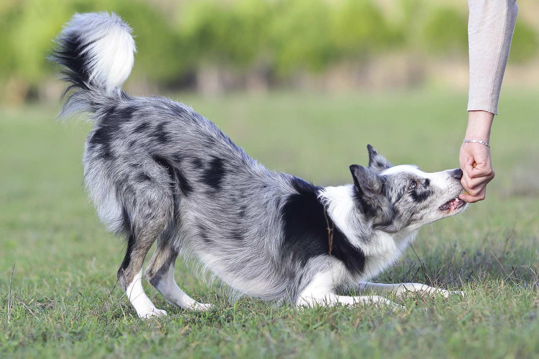 Hund verbeugt sich auf Gras