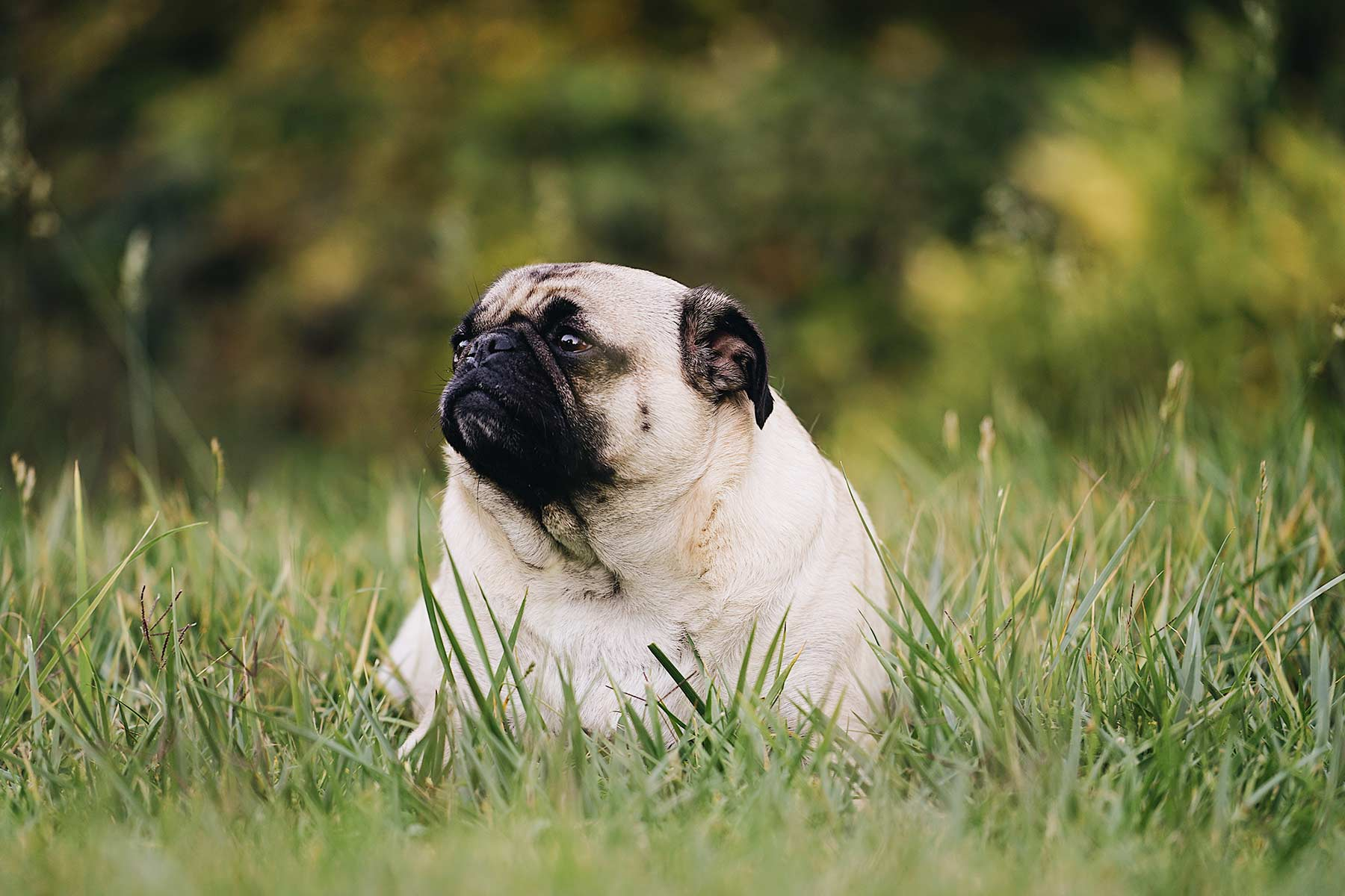 Dicker Hund sitzt im Gras