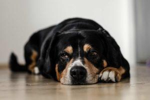 Hund liegt auf dem Boden