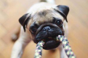 Kleiner Hund zieht an Spielzeug